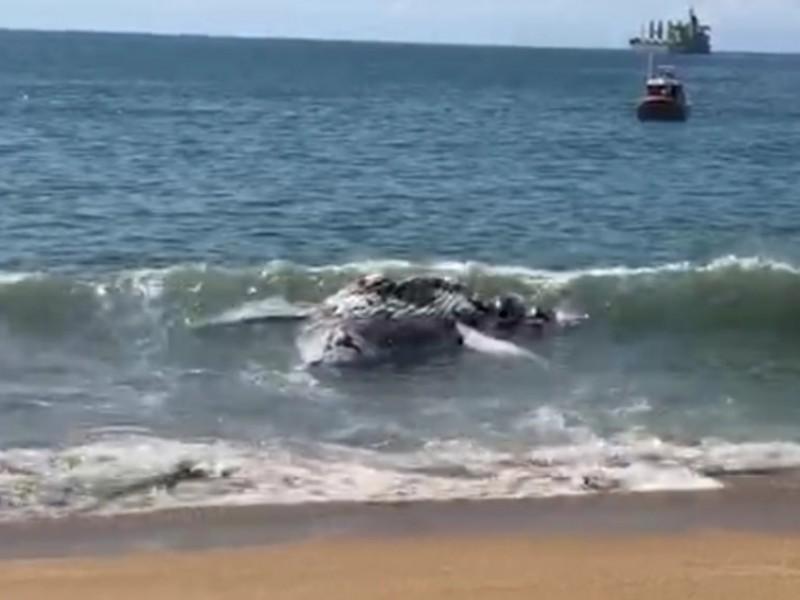 Encuentran una ballena muerta en Manzanillo