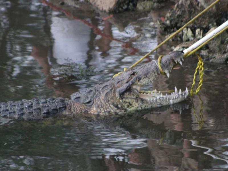 Enorme cocodrilo mata a mujer en Tamaulipas