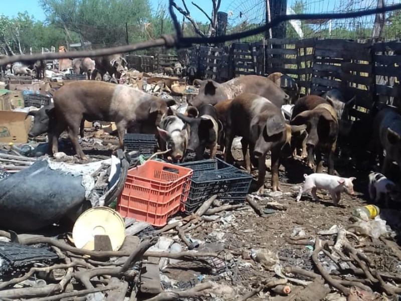Entre puercos viven en Villas de Guadalupe