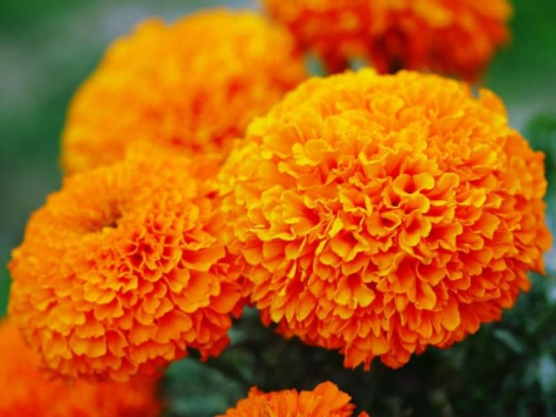 Esperan venta de mil 11 mdp en flor