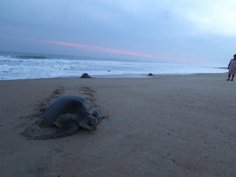 Estrategia contra saqueo y comercio de huevos de tortuga, permanece