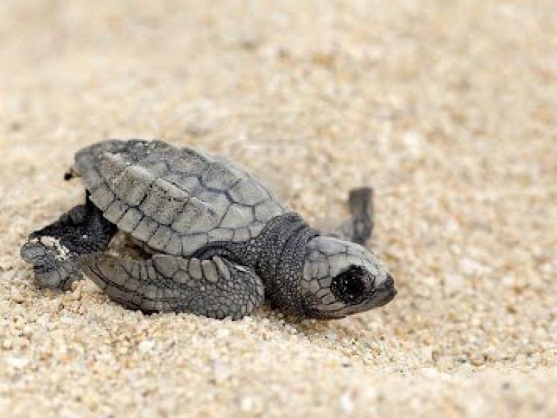 Eventos en playa: mortales para tortugas