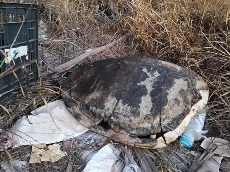 Evidente la pesca furtiva de tortuga en Guaymas
