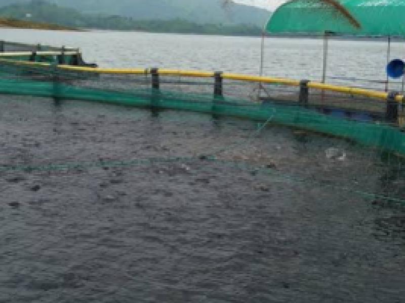Exporta Chiapas 20 mil toneladas de mojarra tilapia