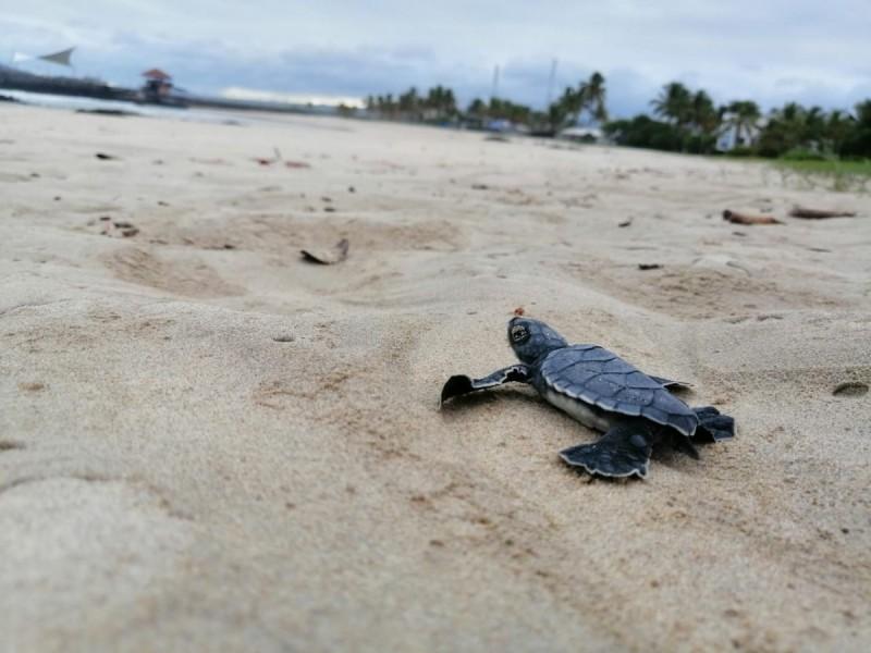 Extreman medidas de protección para 12 nidos de tortuga