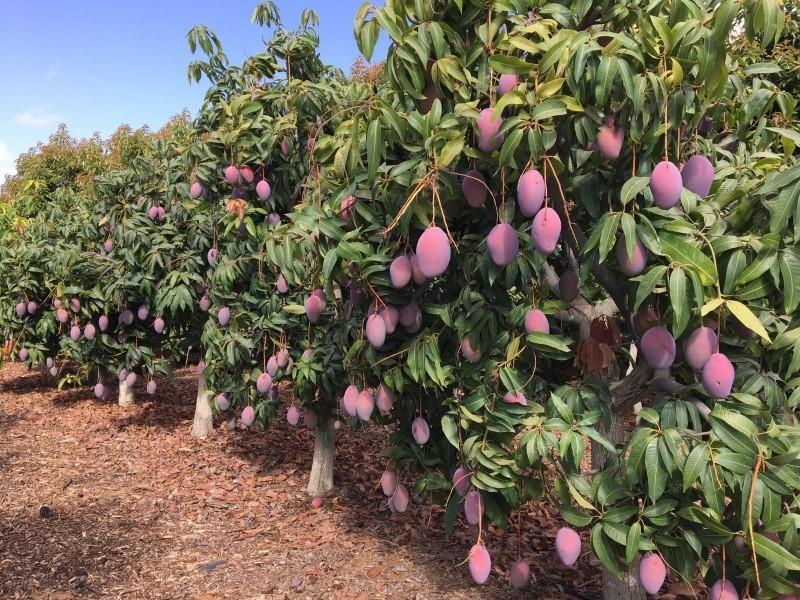 Falta de agua pone en riesgo producción de mango