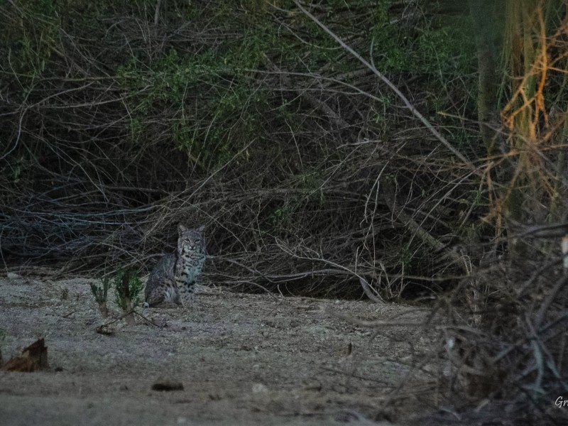Familia de gatos monteses habita en el Ecoparque