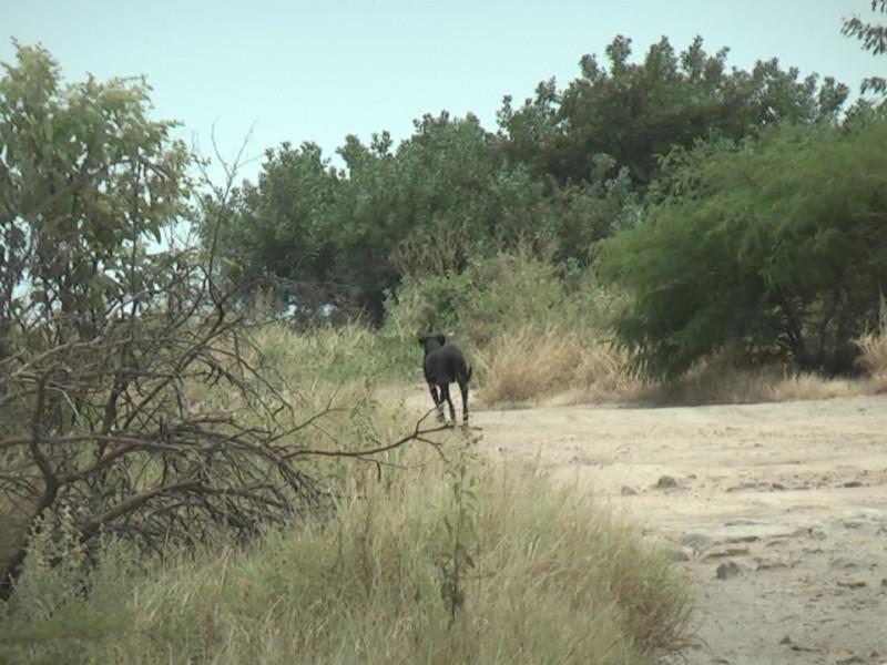 Fauna silvestre en Salinas del Marqués afectada por caninos callejeros