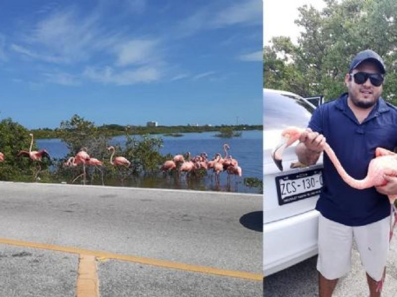 Flamingos en carretera de Yucatán ¡Maneje con precaución!