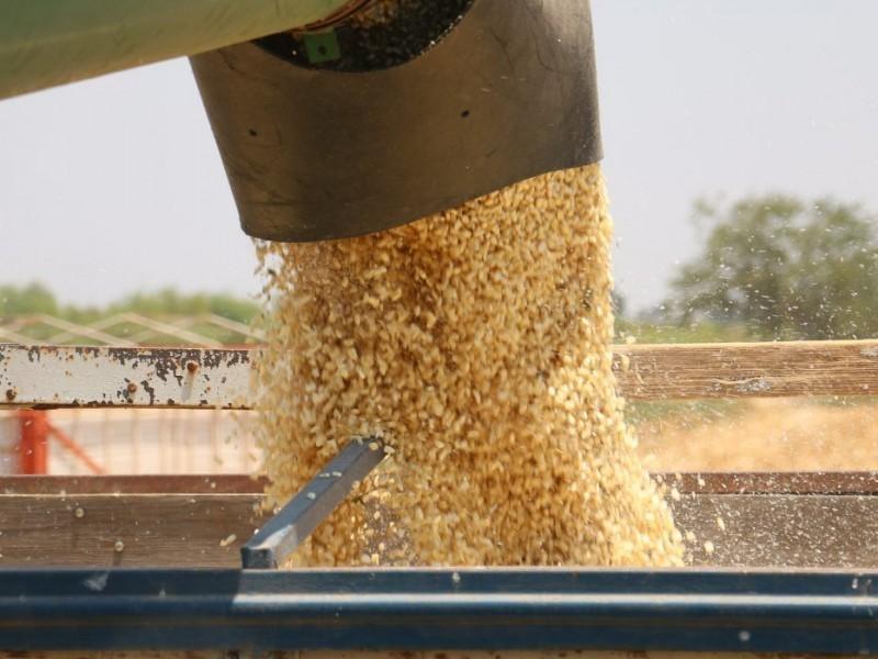 Fluye liquidación de cosechas de maíz en Ahome