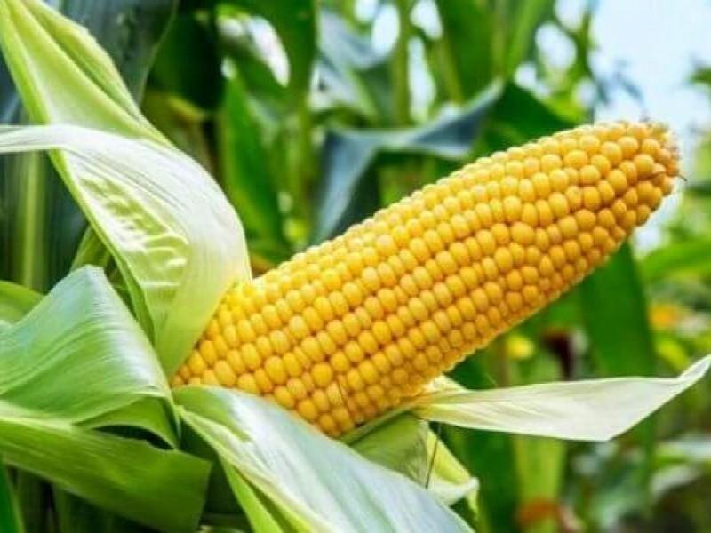 Fomentan siembra de maíz híbrido