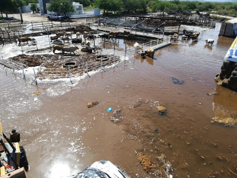 📹📸Fuertes pérdidas registran productores por desbordamiento de dren