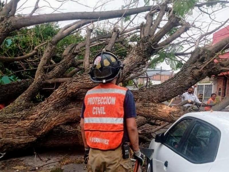 Fuertes vientos dejan árboles caídos en Zamora