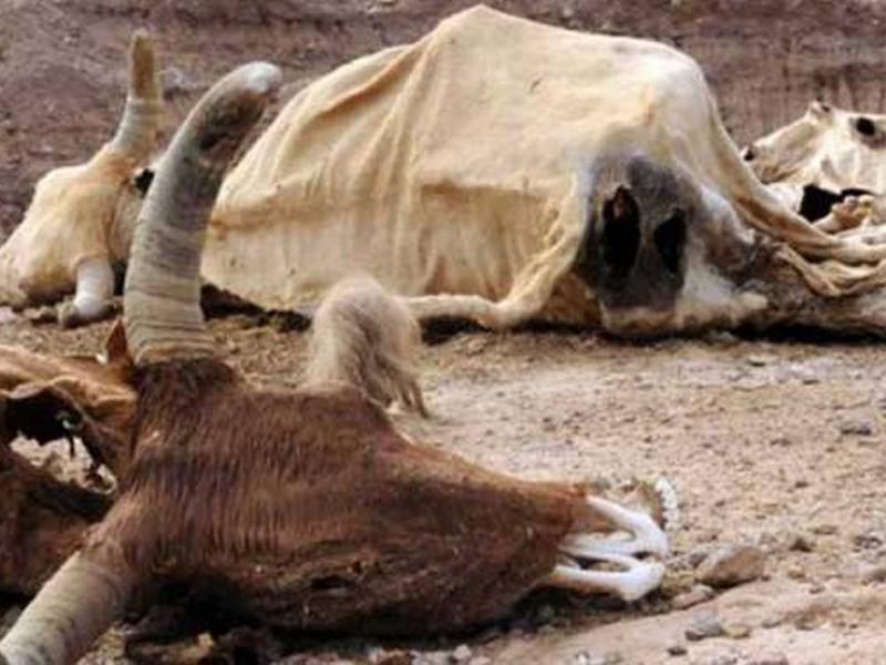 Ganadería en Sonora y su llamado de emergencia por sequía