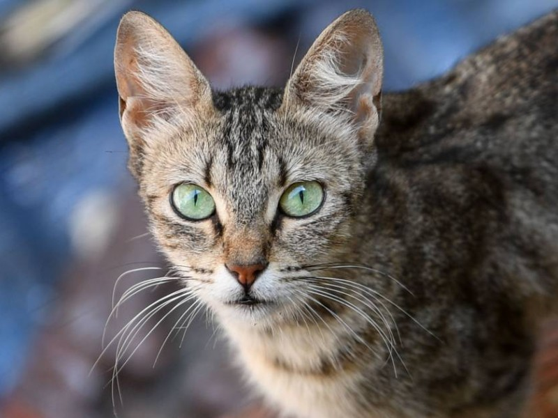 Gato es portador de coronavirus en Bélgica