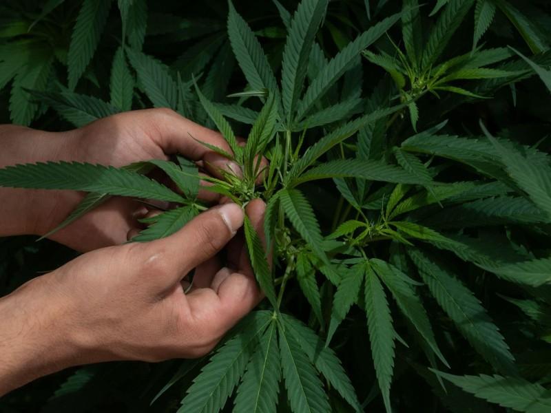 Genera controversia aprobación de marihuana