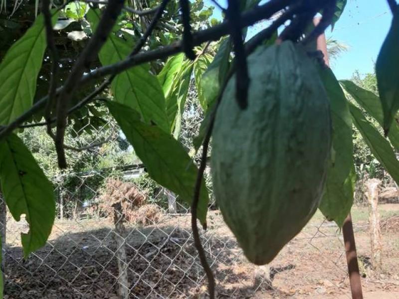 Genera importante derrama económica cacao orgánico