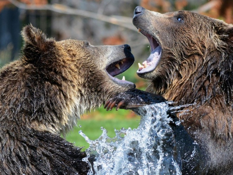 Graban intensa pelea entre dos osos en Finlandia