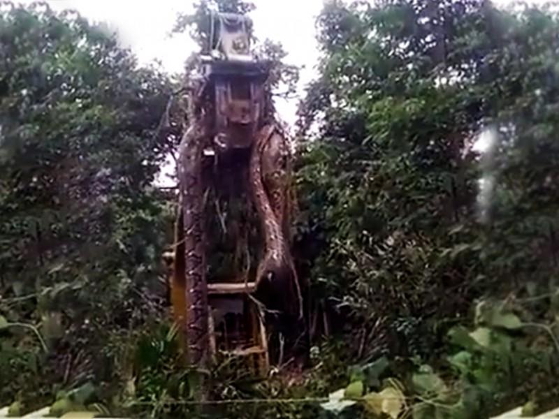 Grúa levanta enorme serpiente en la selva tropical de Dominica