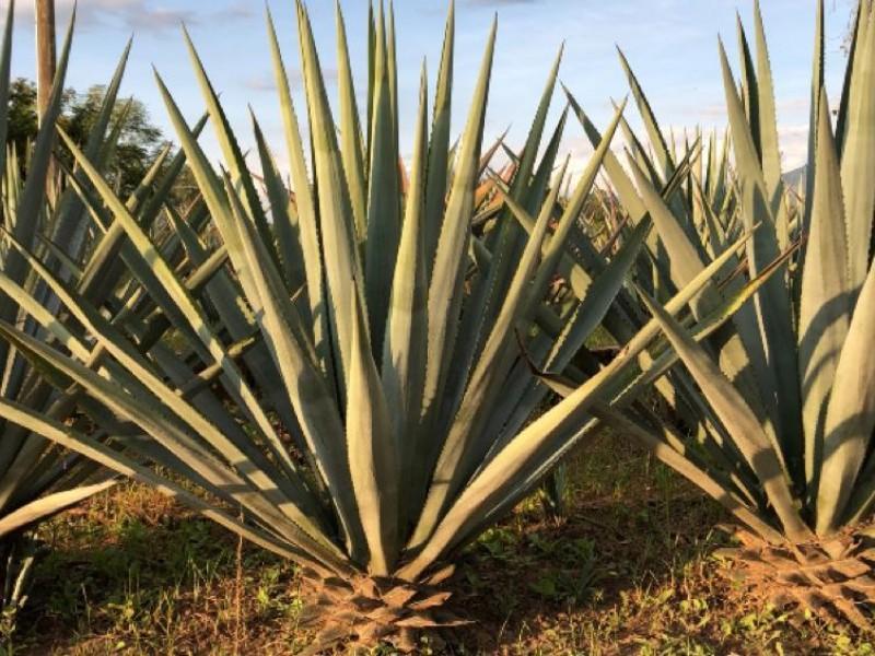 Guanajuato segundo lugar nacional en producción agavera