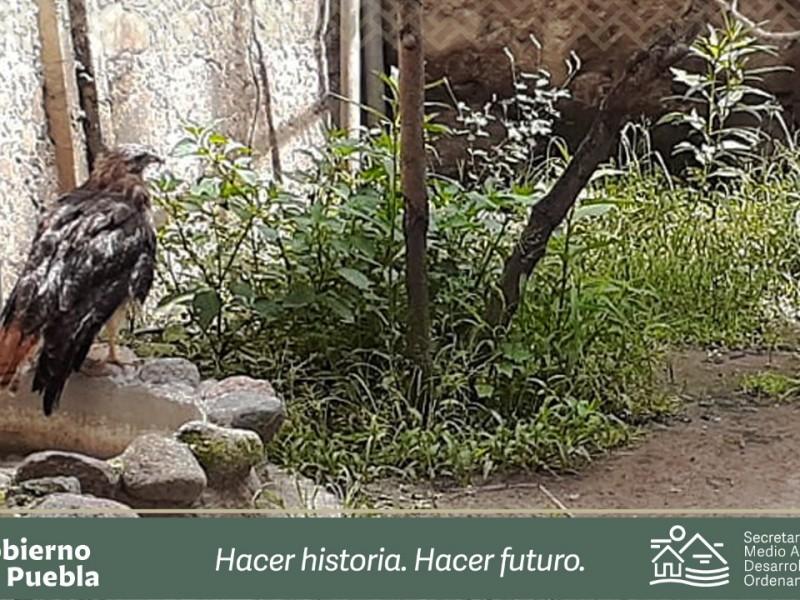 Hallan  halcón de cola roja en cerro de Amozoc