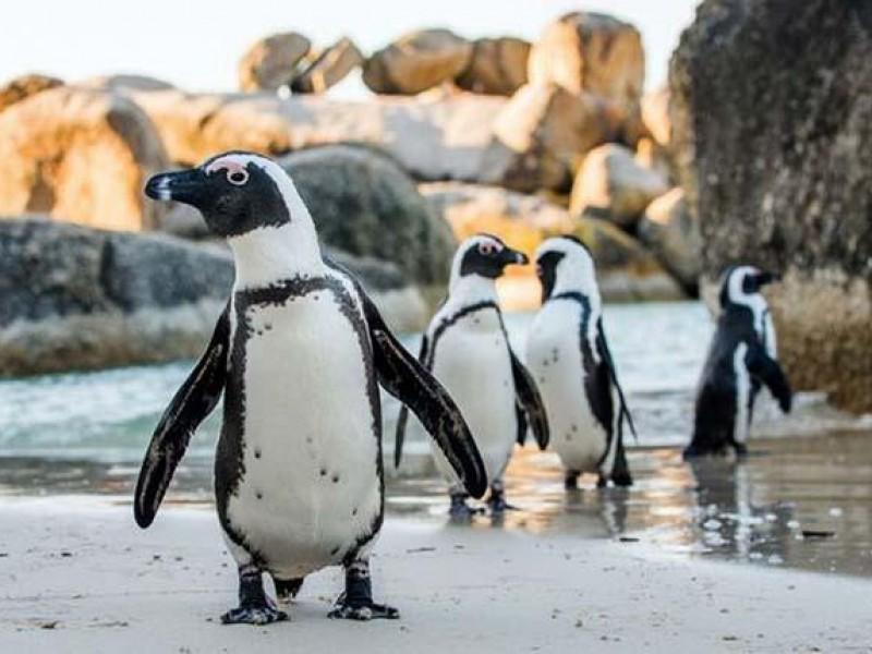 Hallan más de 60 pingüinos muertos por picaduras de abeja