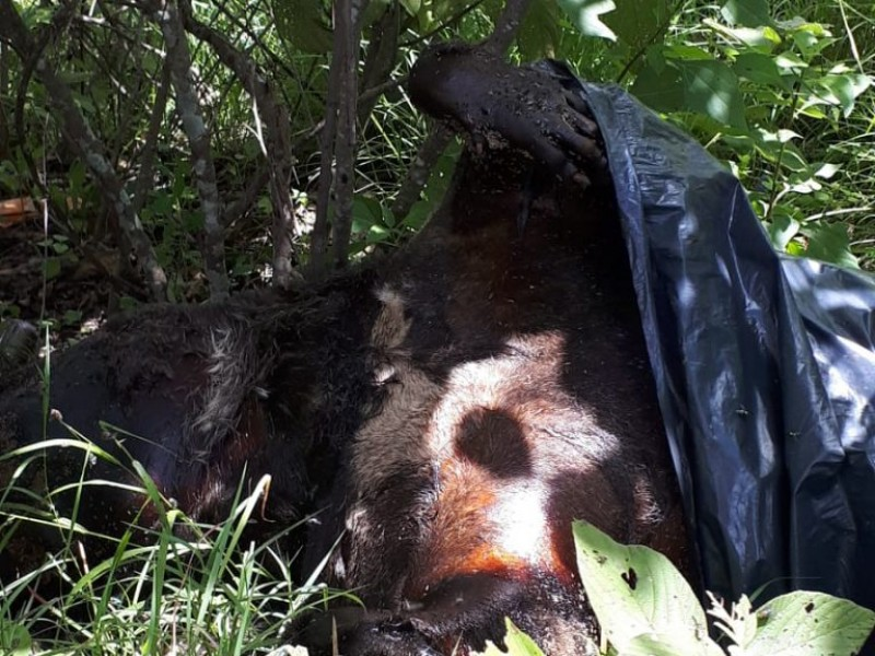 Hallan muerto a presunto oso negro en Chilpancingo