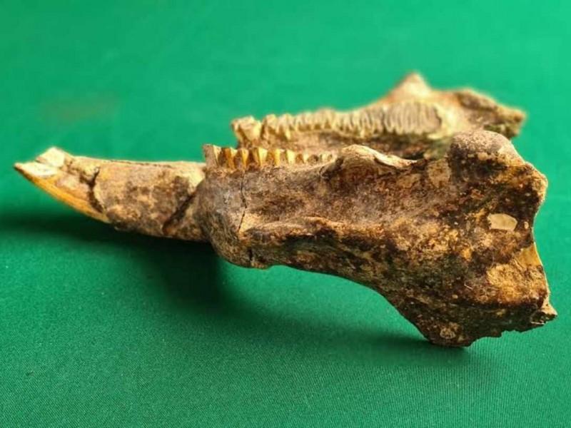 Hallan restos de roedor de hace 11 mil años