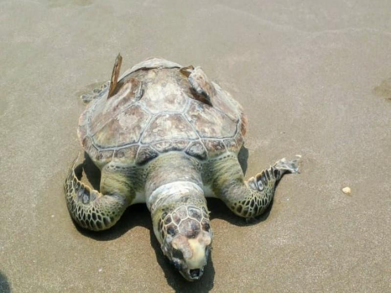 Hallan tortuga muerta en playas de Tuxpan