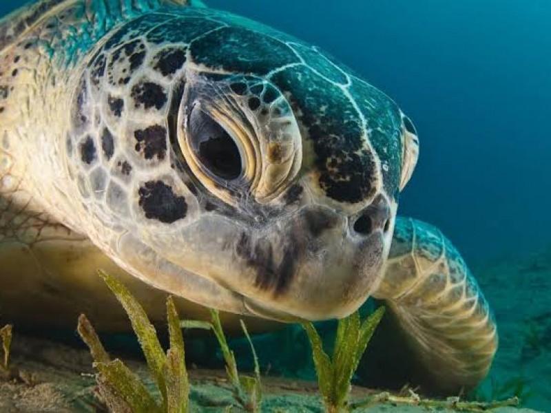 🐢🌊Hallan tumores en tortugas marinas