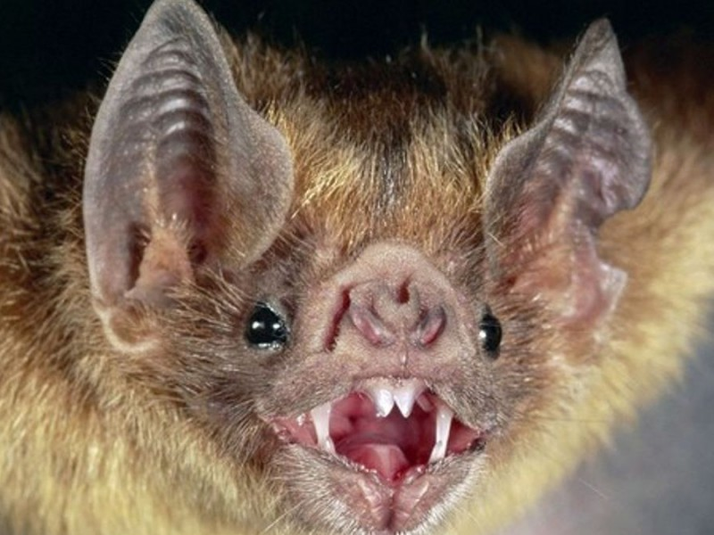 Hallan virus similar al del Covid-19 en murciélagos