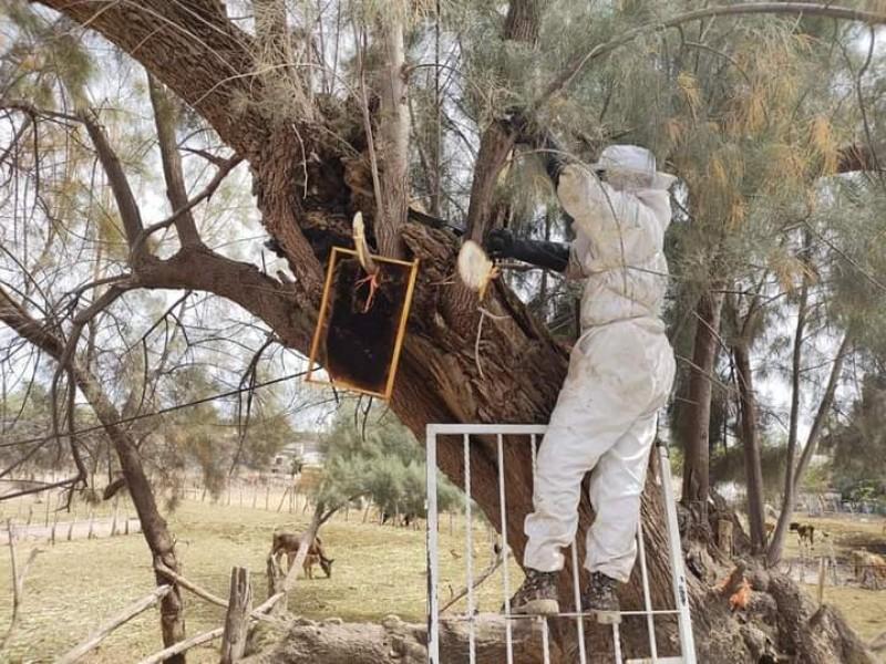 Hasta tres llamados por abejas recibe PC en Sinaloa