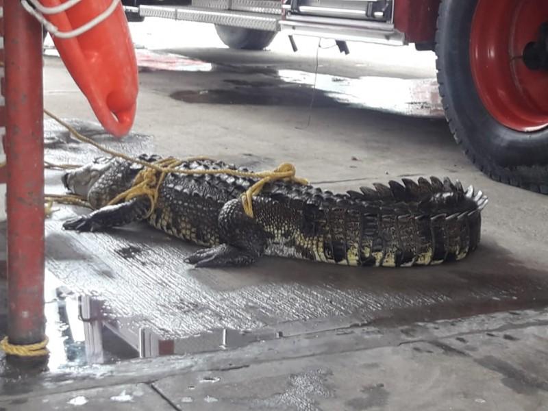 Hecho inedito, cocodrilo capturado en playas: PC