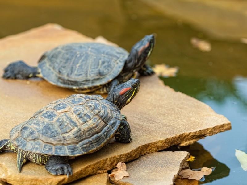 Hermosillense pide a conductores bajar velocidad para no atropellar tortugas