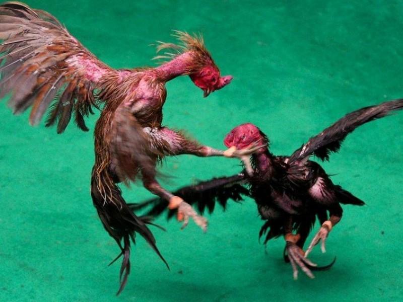 Hidalgo declara patrimonio cultural las peleas de gallos