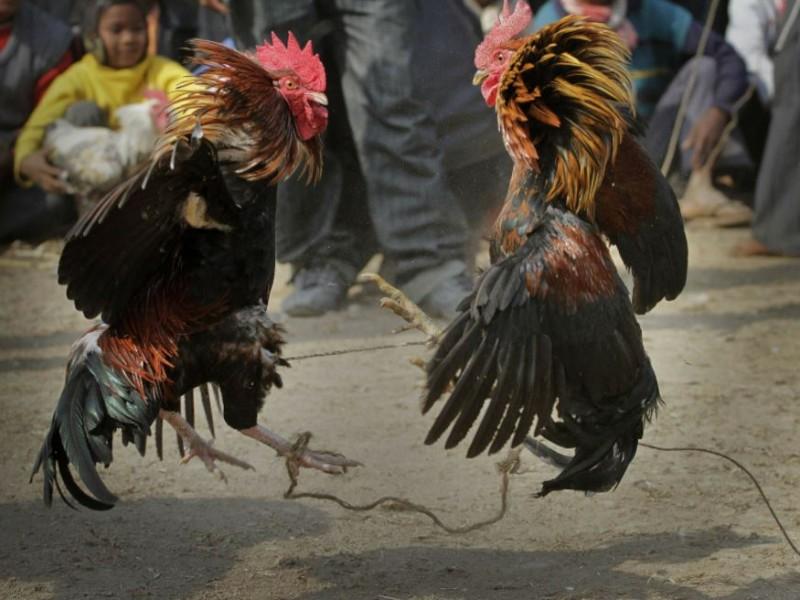 Hidalgo vuelve a declarar patrimonio cultural las peleas de gallos