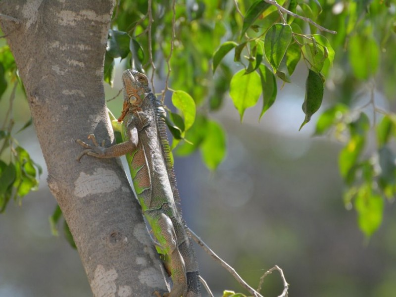 Iguana verde, especie con sobrepoblación en Jardín Botánico