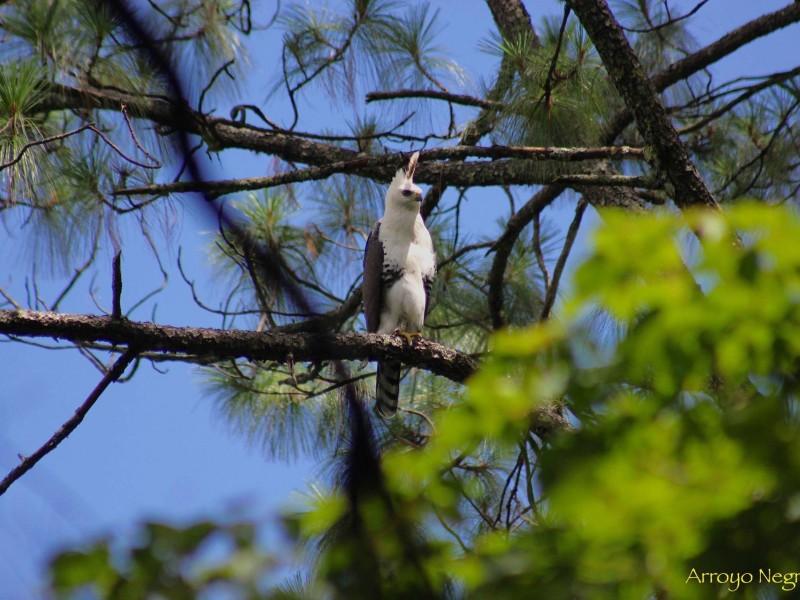 Implementan plan de conservación del Águila de Penacho
