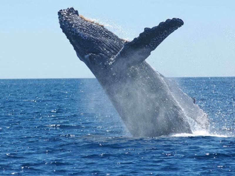 Impresionante avistamiento de ballenas de aleta en San Carlos
