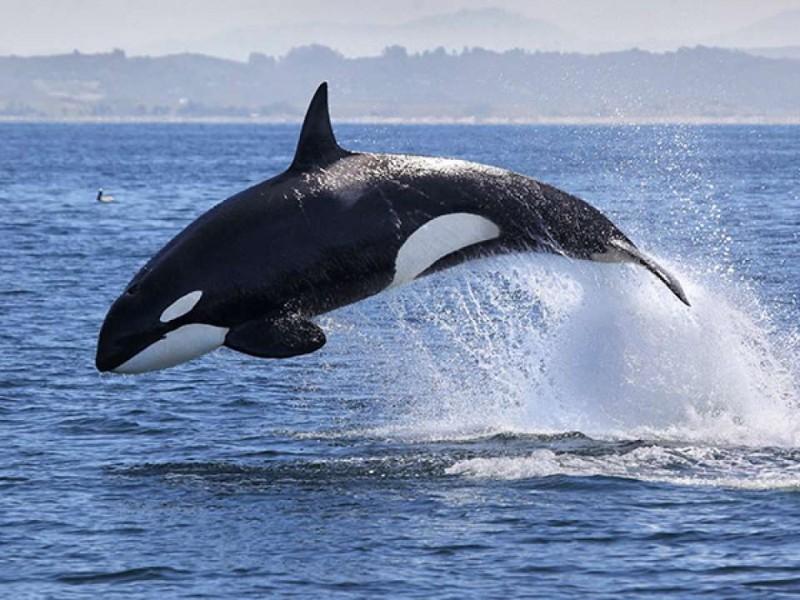 Impresionante avistamiento de orcas en San Carlos