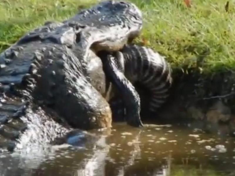 ¡Impresionante! Enorme cocodrilo devora a otro de casi dos metros