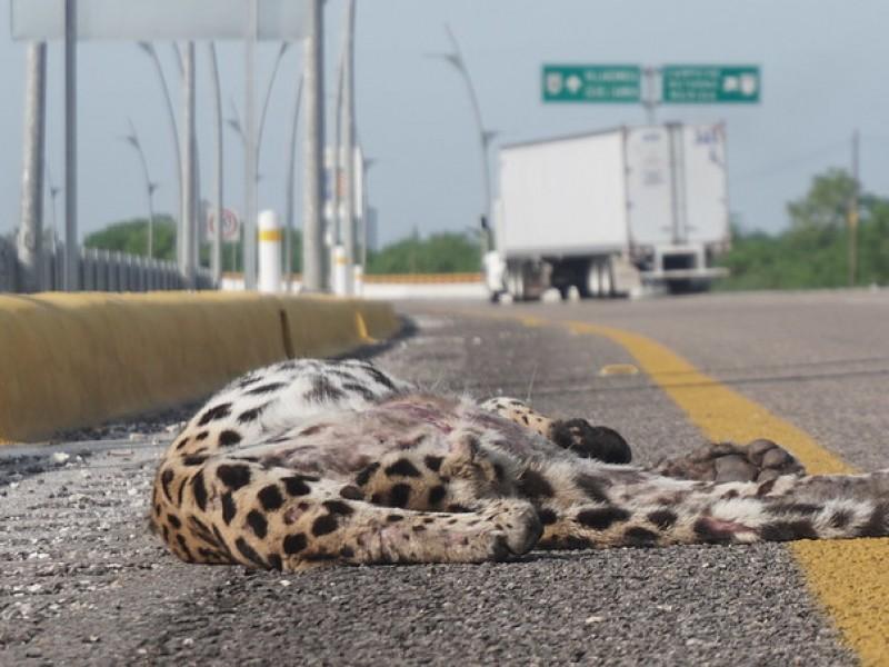 ¡Indignante! Atropellan a jaguar en carretera de Campeche