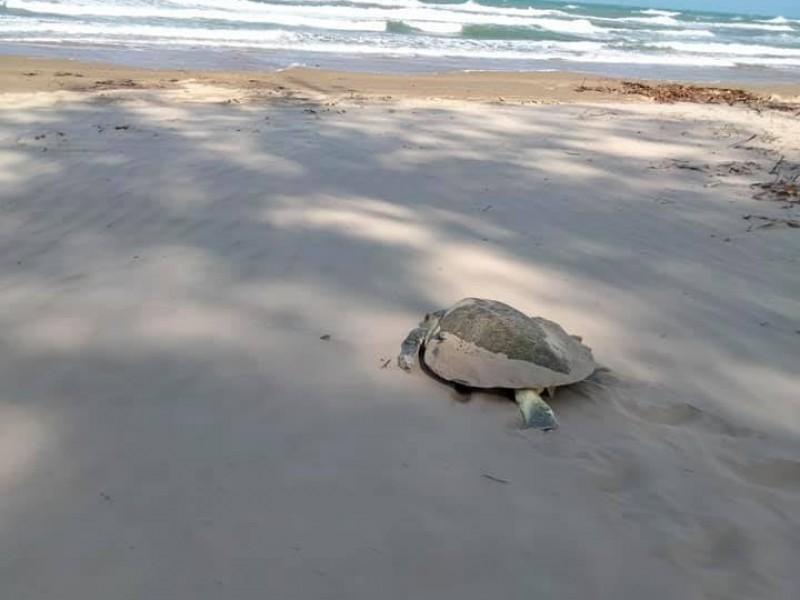 Inicia arribo de tortugas a playas de Tuxpan