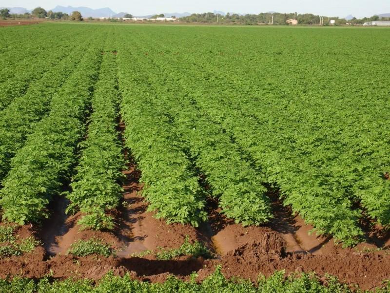 Rescatan ciclo agrícola después de las lluvias