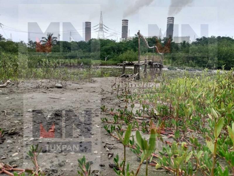 Inicia restauración de manglares de la barra costera de termoeléctrica