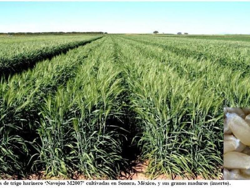 Inicia siembra de trigo en el Valle del Mayo