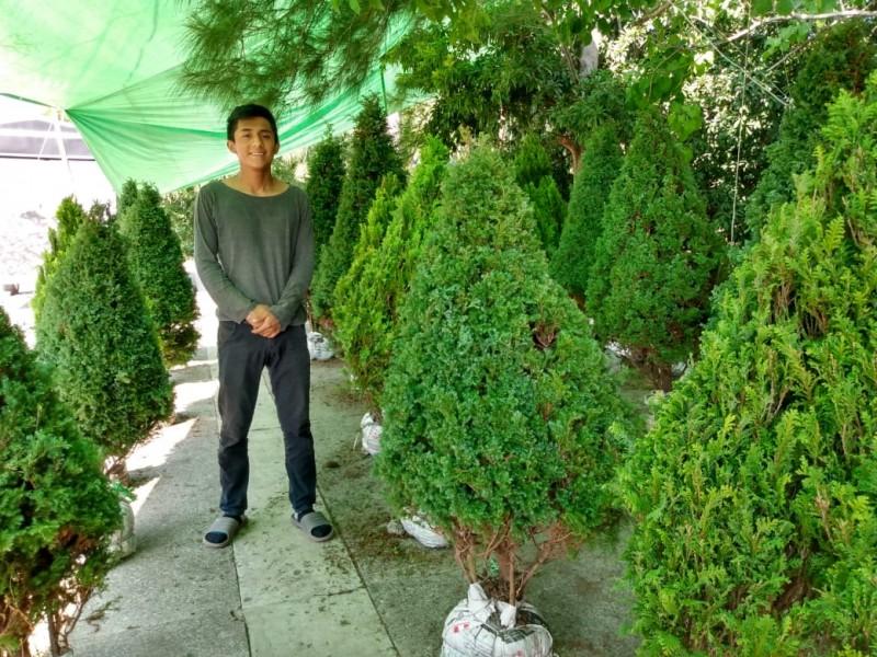 Inicia venta de pinos naturales en Tuxpan