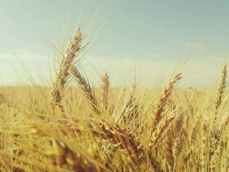 Inician primeras trillas de trigo en el Valle del Carrizo