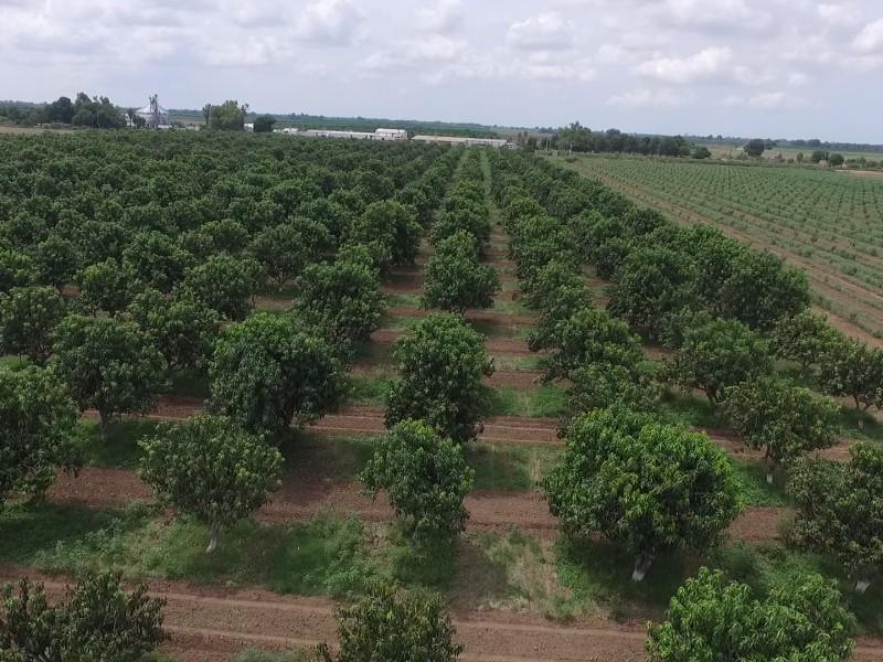 Inician primeros cortes de la temporada de mango