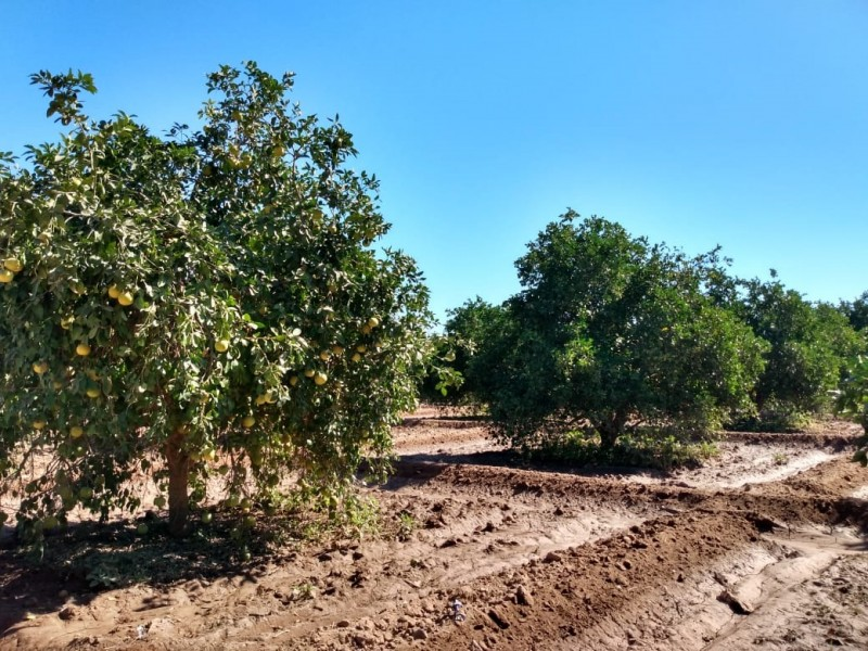 Iniciará cosecha de cítricos en San José